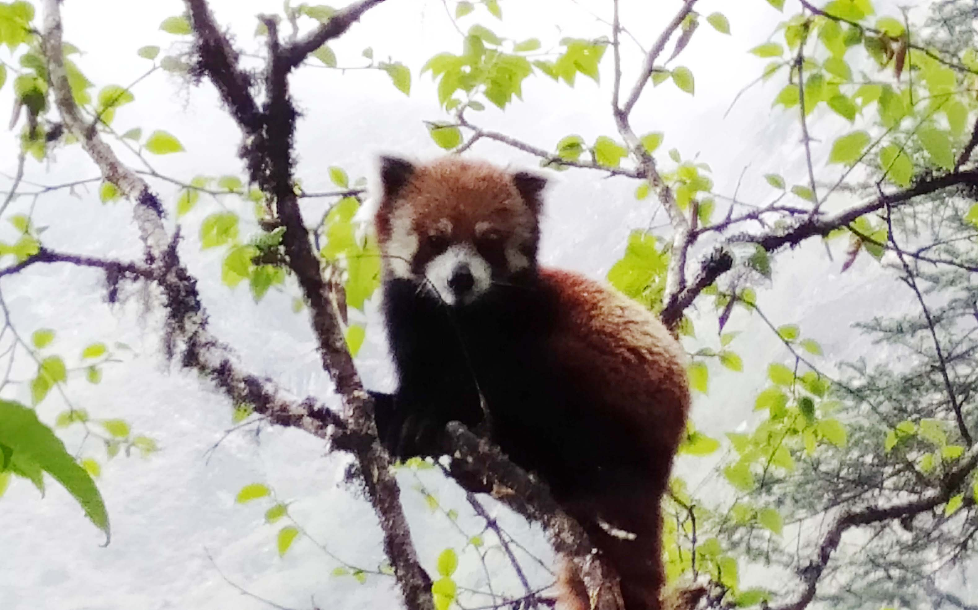 Red Panda spotted in Langtang National Park